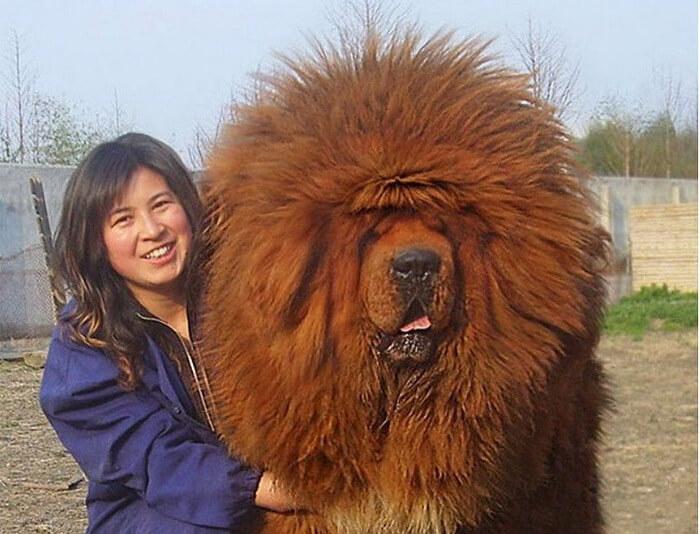 mastiff-90868-16929.jpg