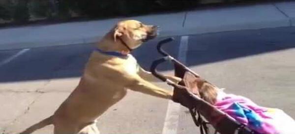 Dog Pushing Stroller.jpg